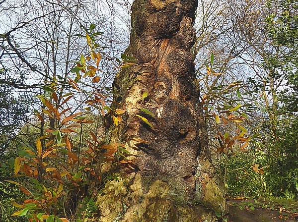 47 Birkenhead Park Chestnut stump
