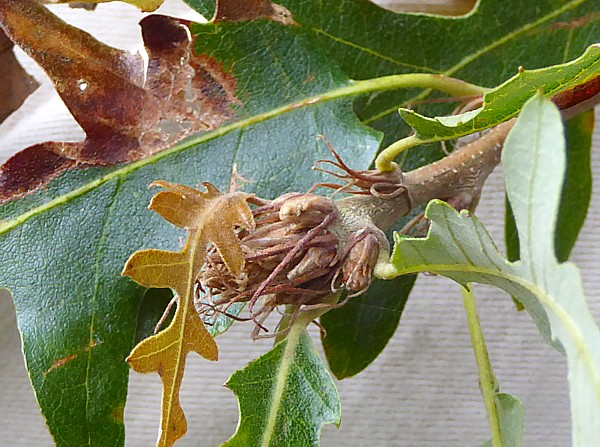 47 Birkenhead Park Turkey Oak bud