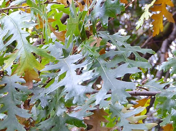 47 Birkenhead Park Turkey Oak foliage