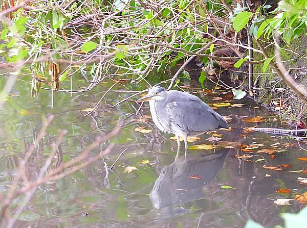 48 SEfton Park Heron