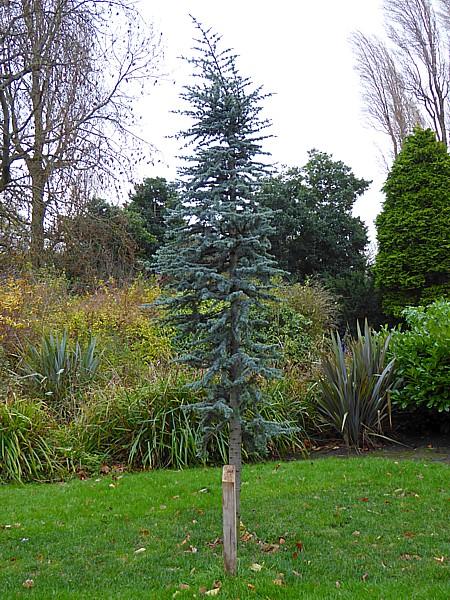 48 Sefton Park Blue Atlas Cedar