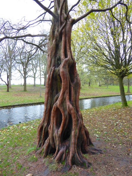 48 Sefton Park Dawn Redwood trunk