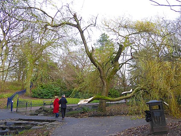 48 Sefton Park broken willow