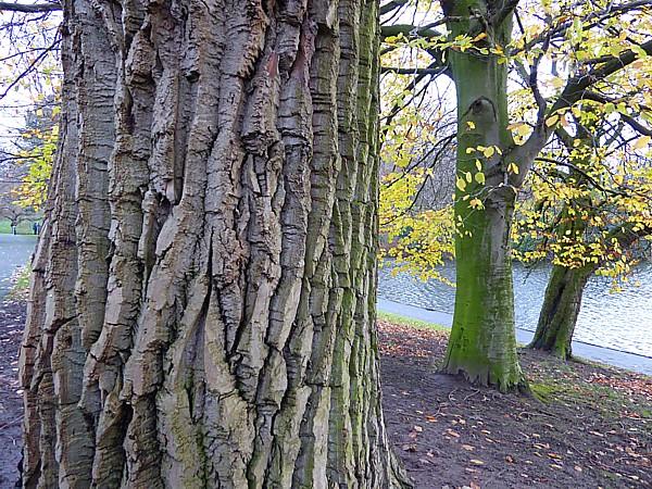 48 Sefton Park ridged bark