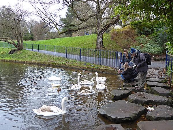 48 Sefton Park swan family