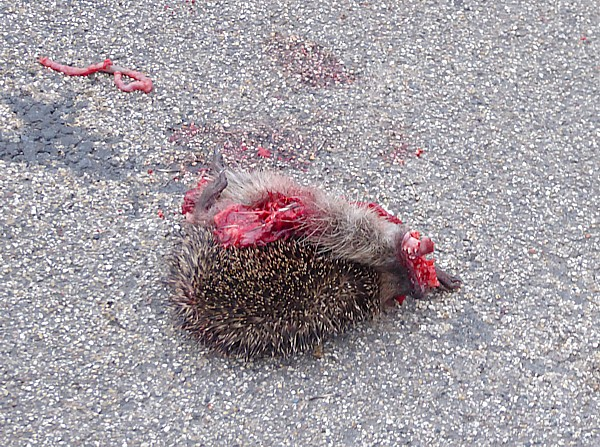 49 New Brighton dead hedgehog