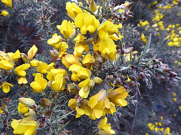 49 New Brighton gorse