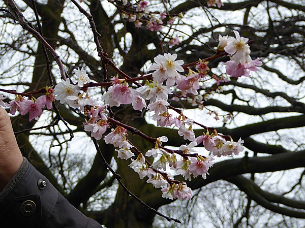 50 Croxreth cherry blossom