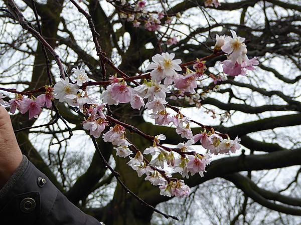 50 Croxreth cherry blossom