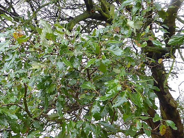 50 Croxteth Lucombe oak foliage