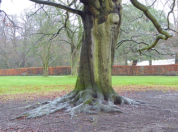 50 Croxteth beech exposed roots