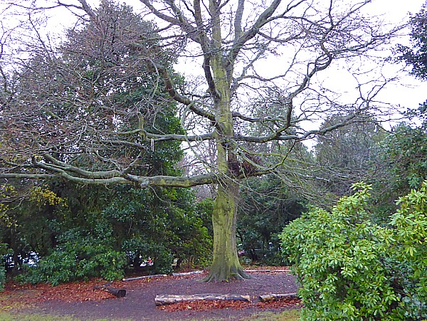 50 Croxteth tree with device