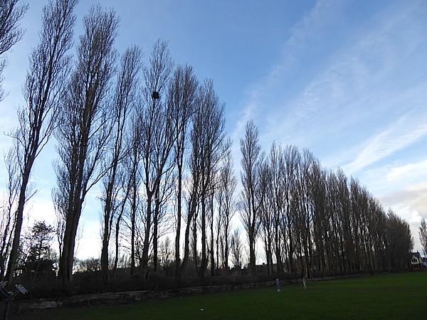 01 Waterloo Lombardy Poplars
