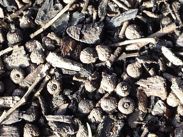 01 Waterloo failed Holm acorns