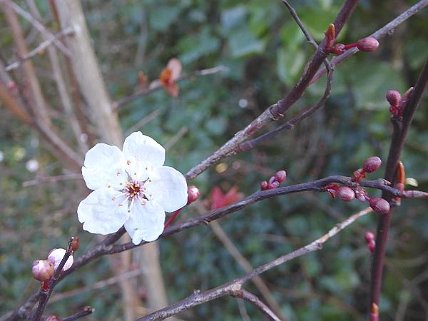 05 Waterloo blossom
