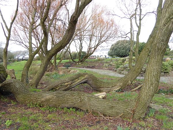 05 Waterloo willow trunks