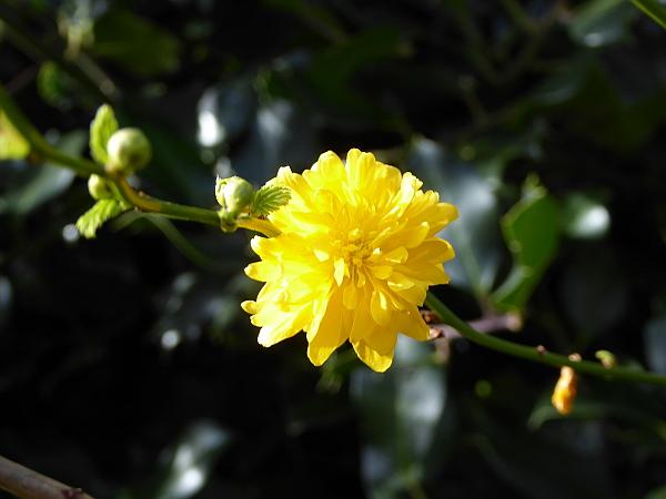 06 Stanley yellow shrub