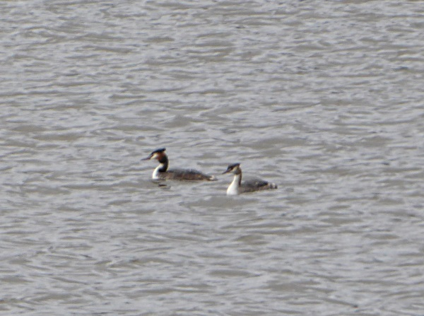 07 Carr Mill grebes