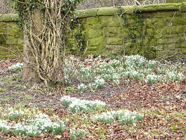 07 Carr Mill snowdrops