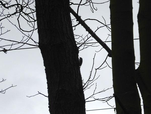 07 Carr Mill treecreeper