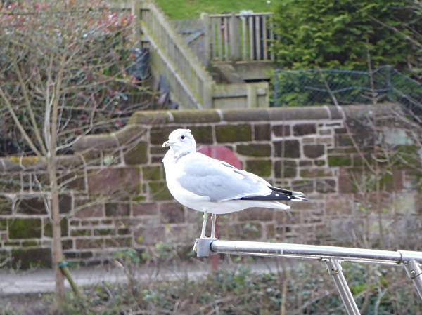 08 Chester common gull