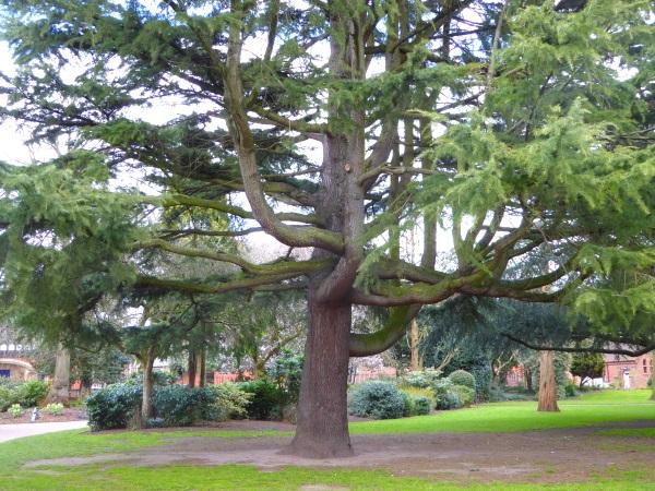 08 Chester deodar trunk