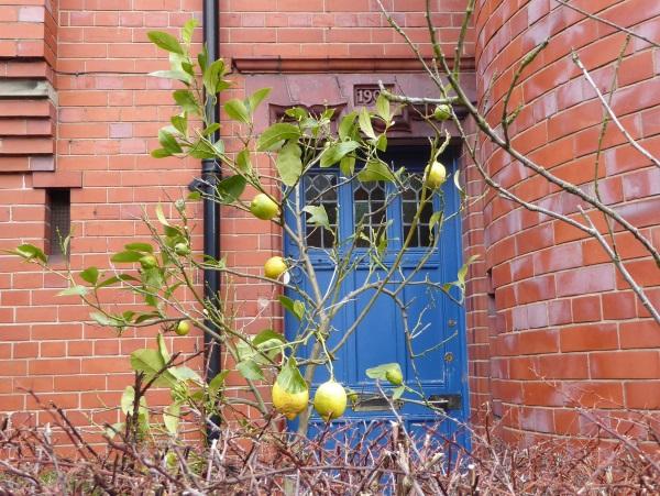 08 Chester lemon tree