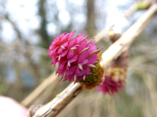 09 Rimrose larch female flower