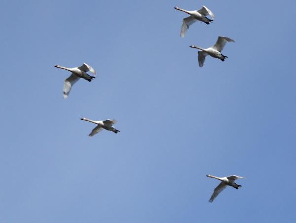 09 Rimrose swans