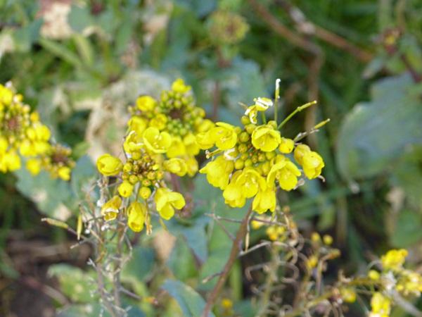 09 Rimrose yellow brassica
