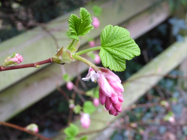 10 Parkgate flowering currant