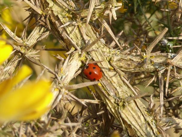 10 Parkgate ladybird