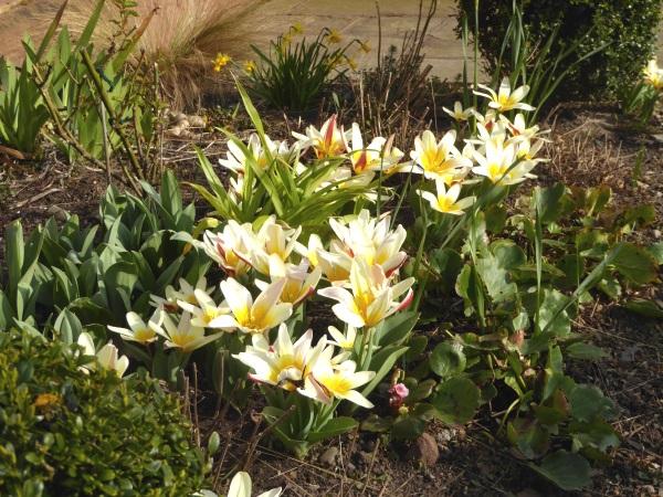 10 Parkgate tulips