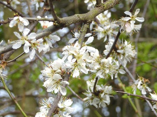 12 Leasowe Blackthorn perhaps
