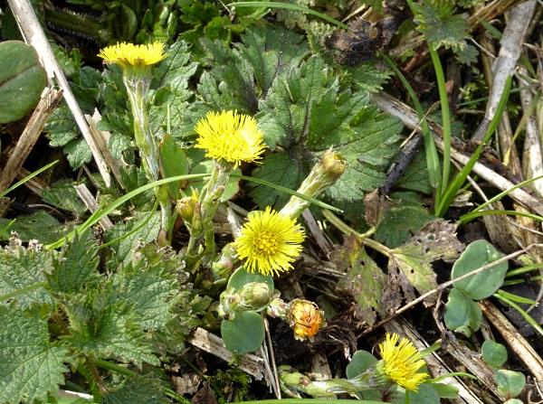 12 Leasowe Coltsfoot
