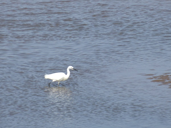 12 Leasowe Little Egret