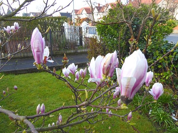 12 Leasowe Magnolia