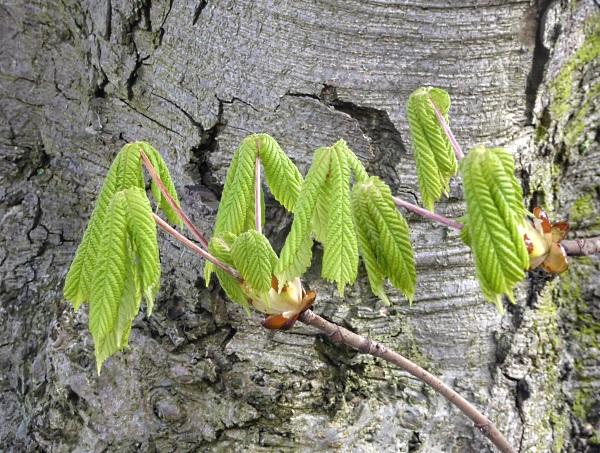 12 Leasowe horse chestnut leaves