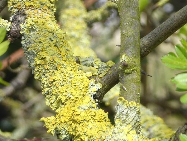 12 Lichen on hawthorn