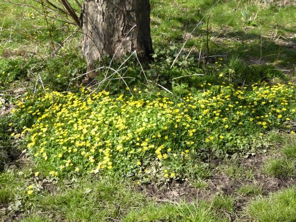 13 Thornton Hough Lesser Celandine patch