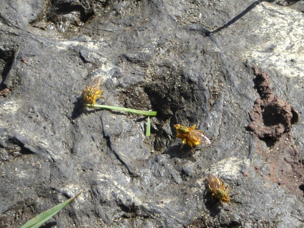 13 Thornton Hough yellow dung flies