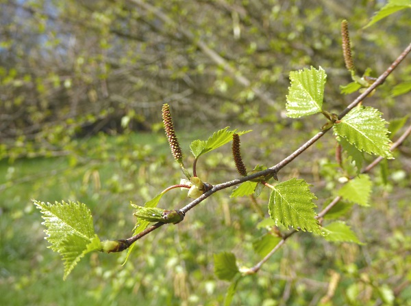 14 Rivacre Birch female catkins