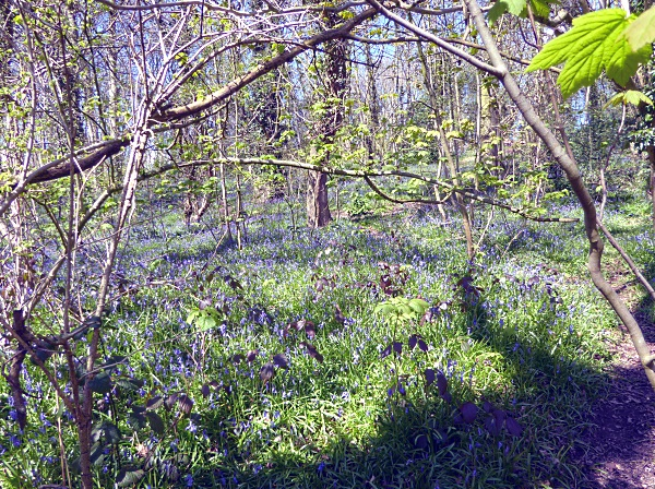 14 Rivacre Bluebell carpet