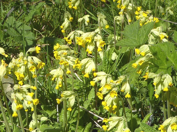14 Rivacre Cowslips