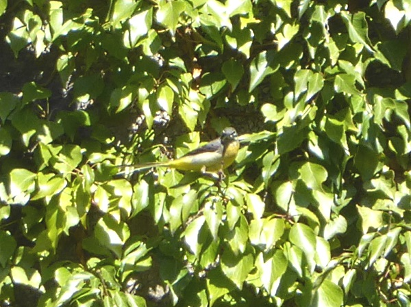 14 Rivacre Grey wagtail