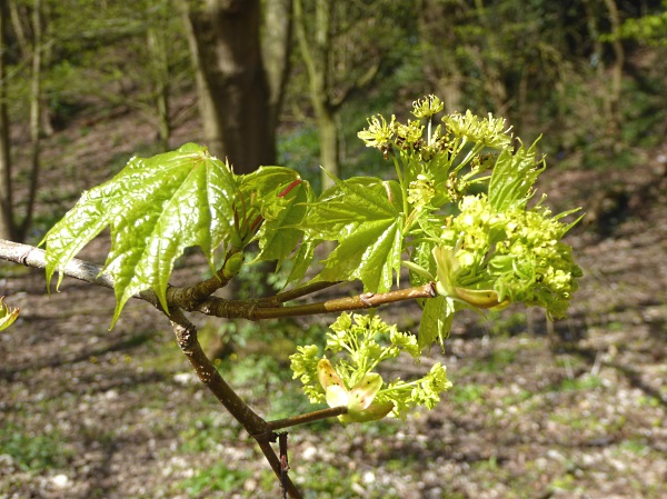 14 Rivacre Norway maple flowers