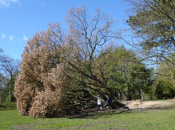 15 Churchtown fallen oak