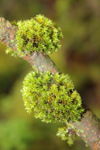 MNA Dibbinsdale 2016 Pincushion Moss1