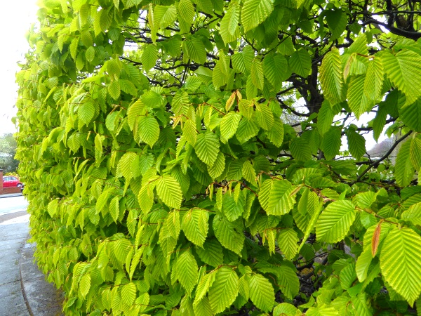 16 Sunlight Hornbeam hedge