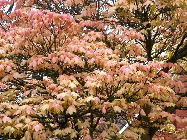 16 Sunlight Maple foliage